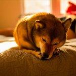 ベッドで眠たい柴犬