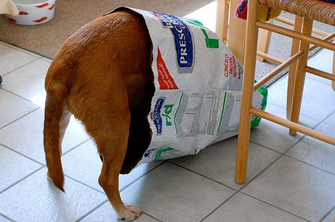 頭をエサの外国産ドッグフード袋に入れている犬