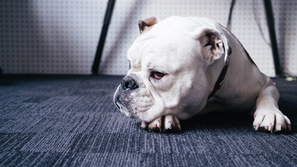 無添加のドッグフード欲しいシニア犬