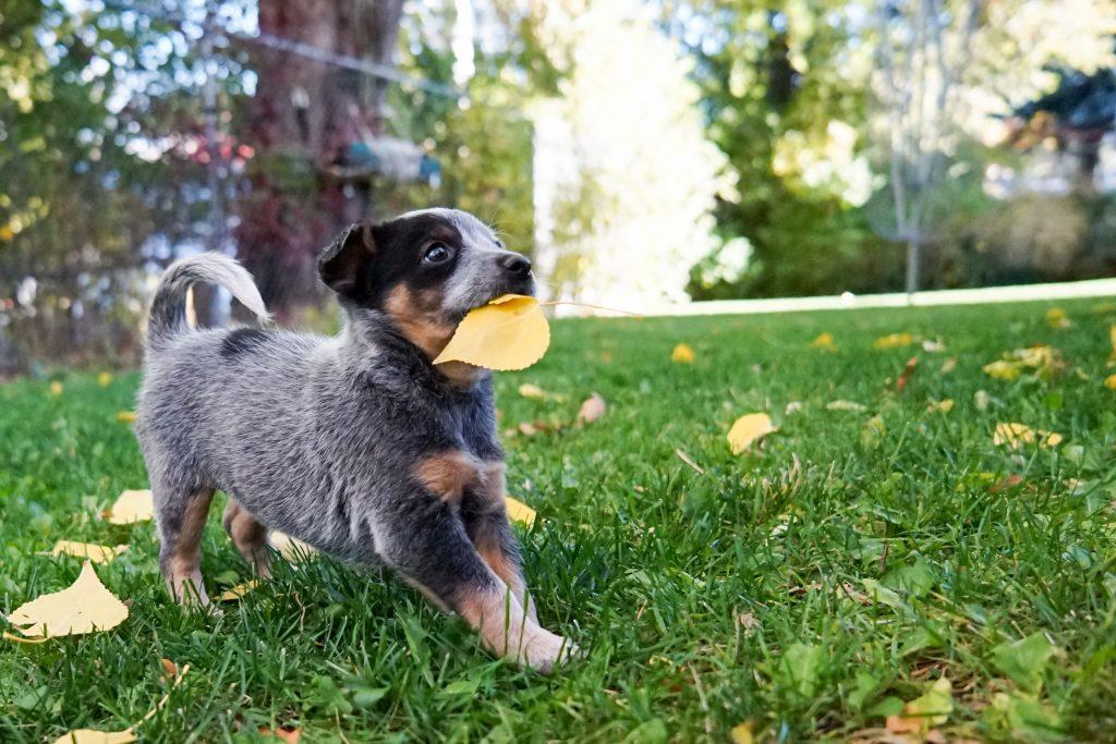 パピーや活動犬には高タンパク質のフード