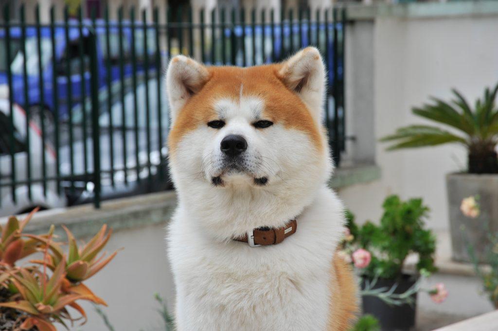 秋田犬も肉食