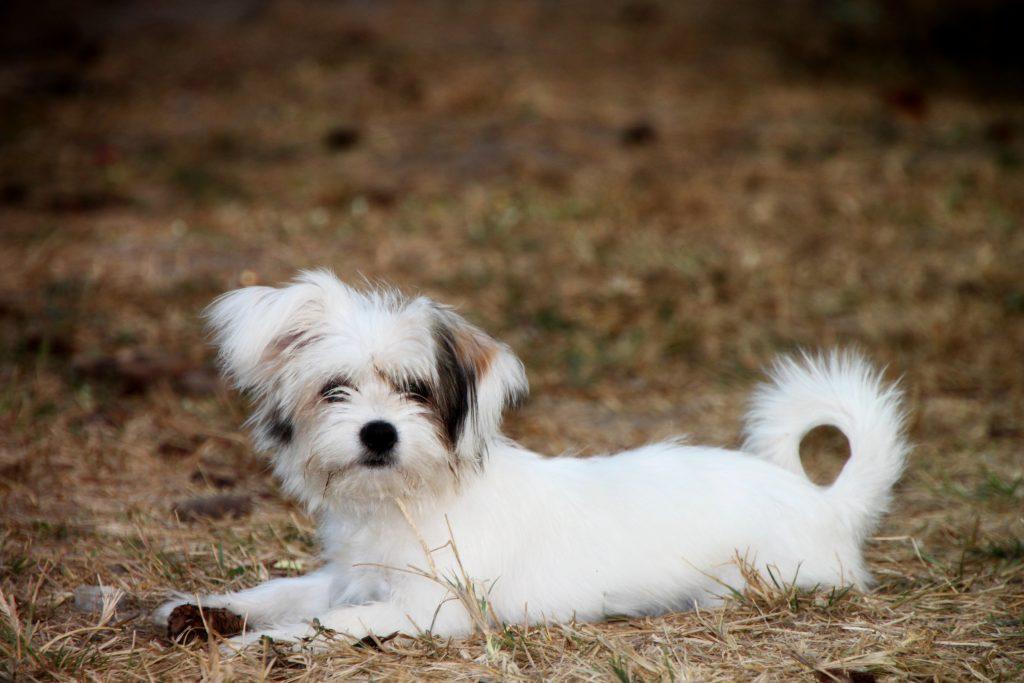 枯れ草の上の白い犬