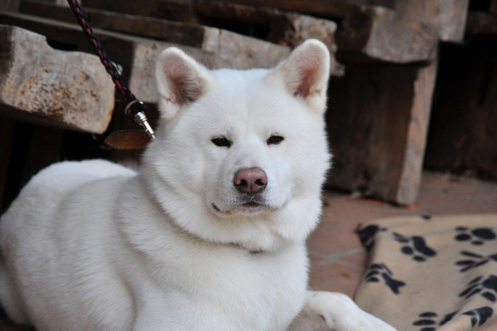 白い秋田犬