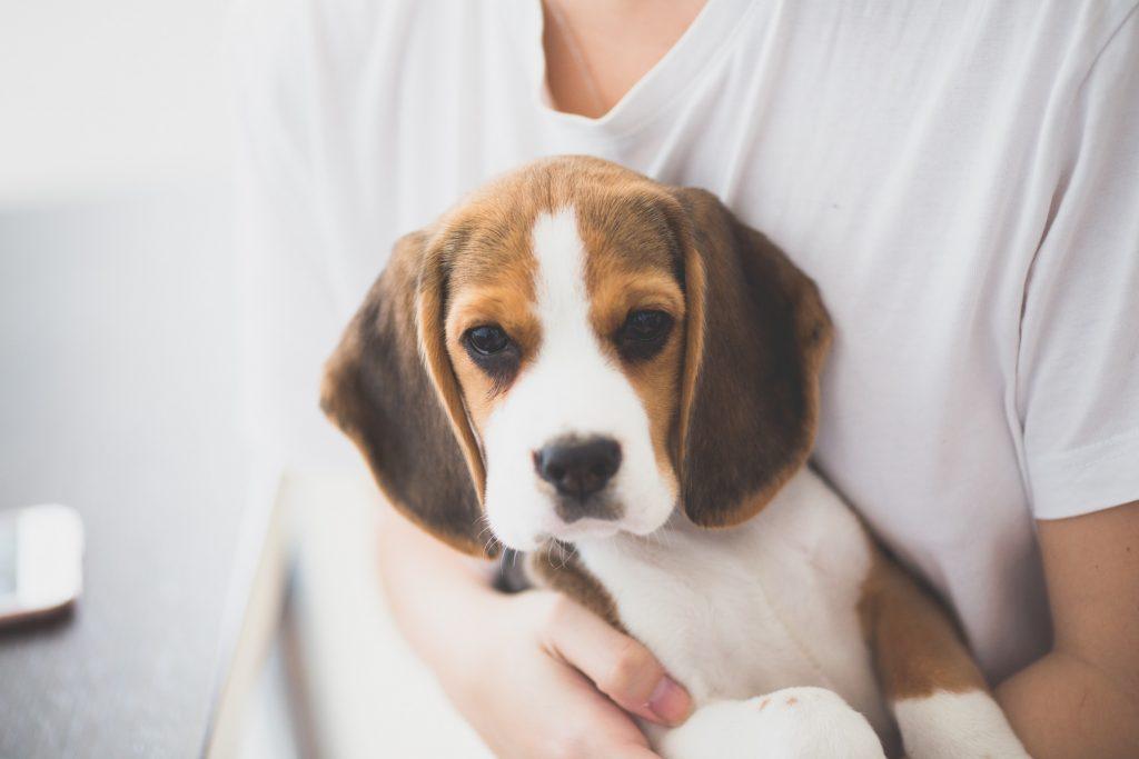 飼い主に抱かれているビーグル犬