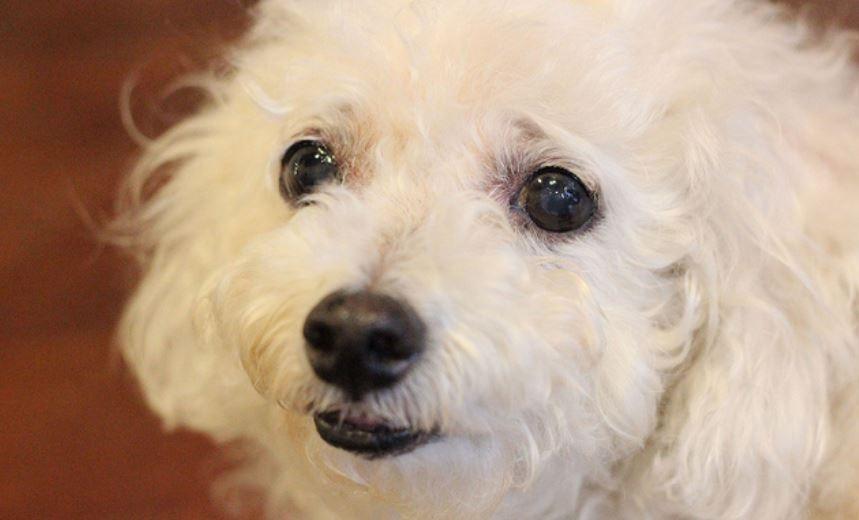 ふさふさの白い犬