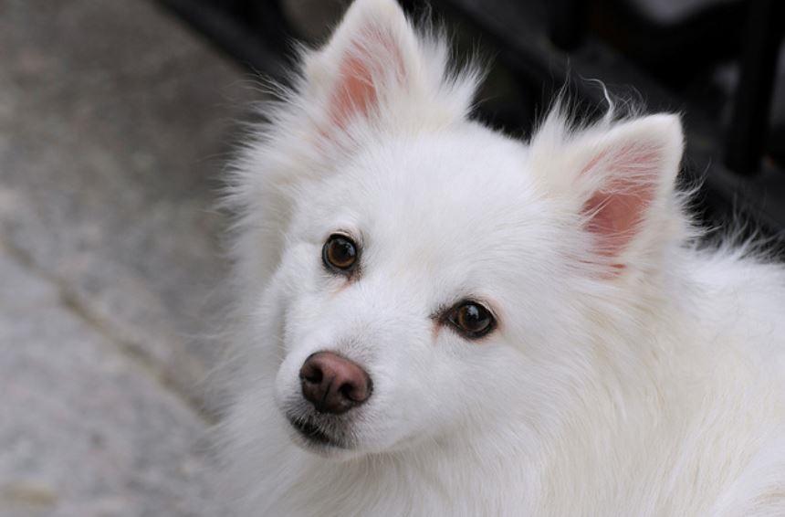 落ち着いた顔の白い犬