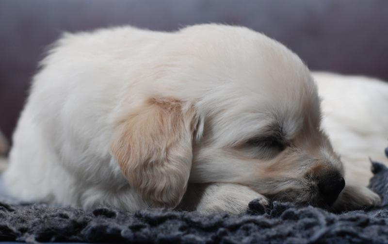 お母さんの夢見ている子犬