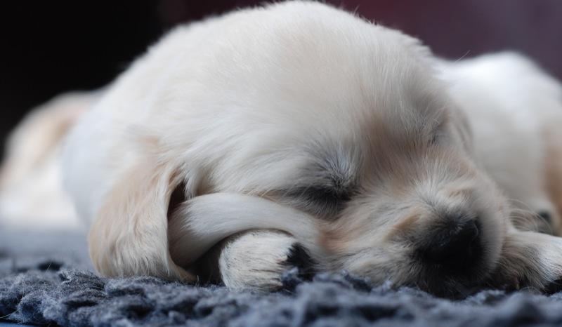 お腹いっぱい食べて熟睡中の子犬