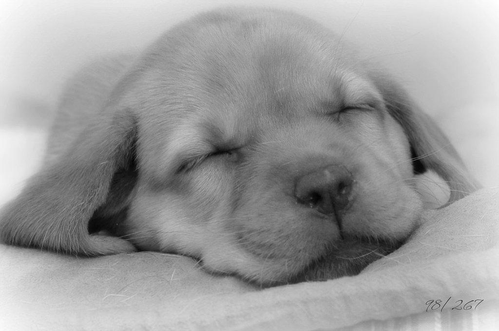 かわい子犬の寝顔