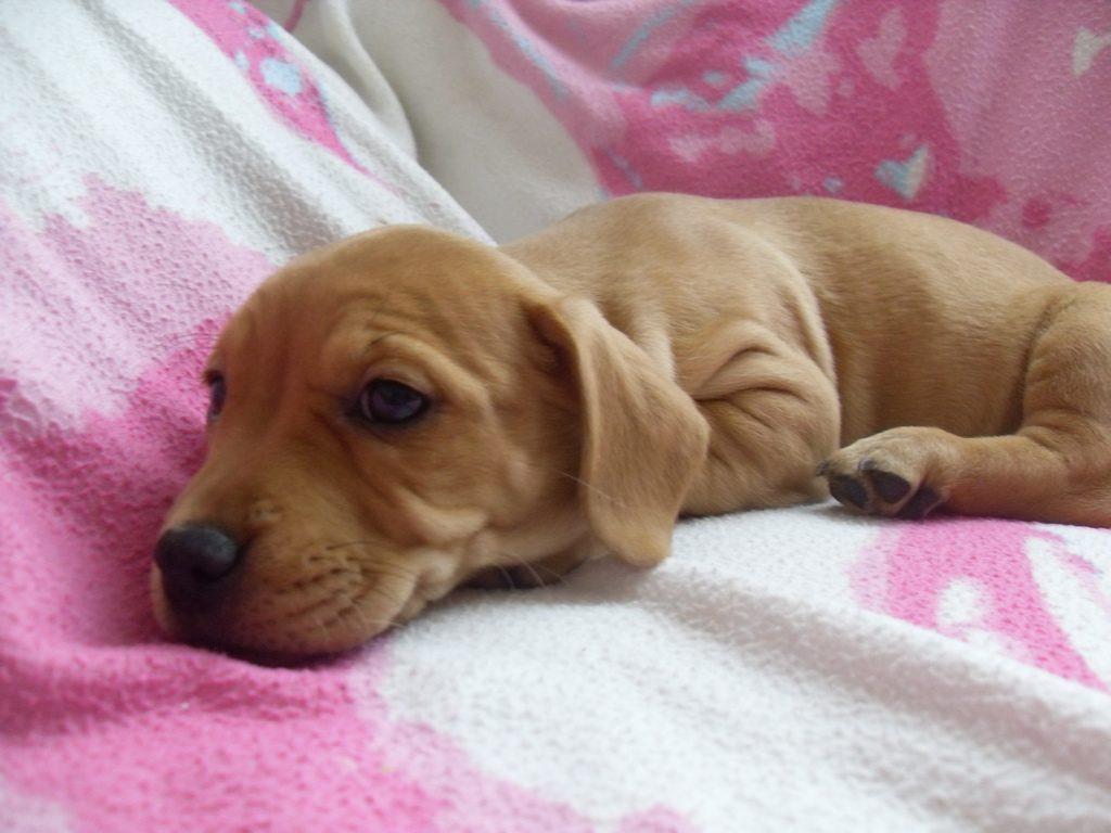 ソファーの上で眠たい子犬