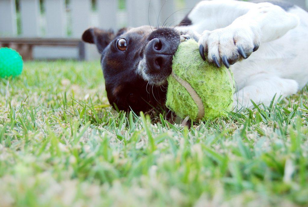 ボールをしっかり噛みながら遊ぶ子犬
