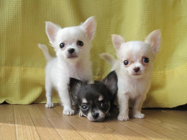 三匹の白黒のチワワ
