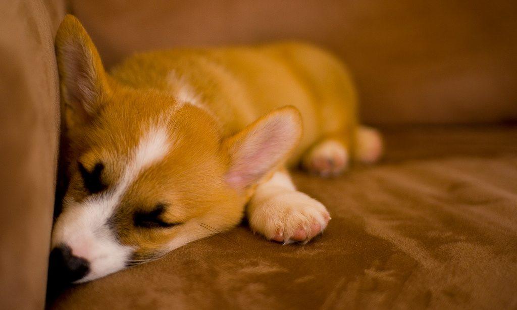 寝ていても聞き耳を立てる子犬