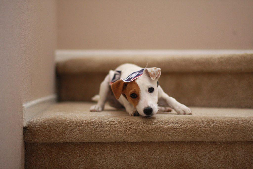 知らない人が来ないか見張っている犬