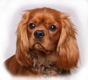 これなら名家でも人気な犬
