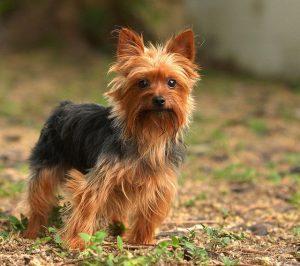 エアデールの子犬
