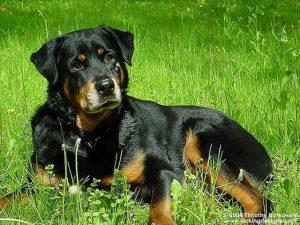 ドイツの犬