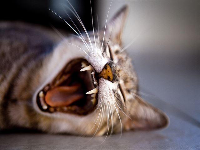猫は犬に比べて味覚が乏し