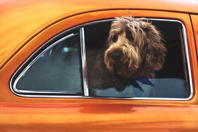 車の窓から顔を出す犬にもドッグフード
