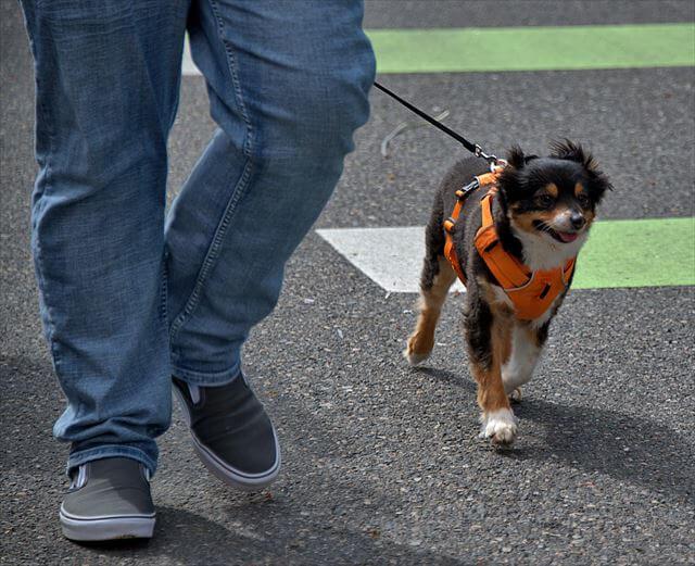 リーダーウォークで落ち着いて歩く犬
