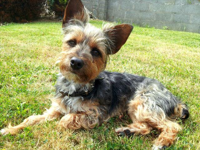 芝生に座ってるテリア犬