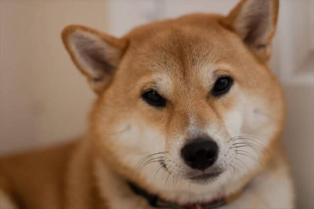 優しい柴犬