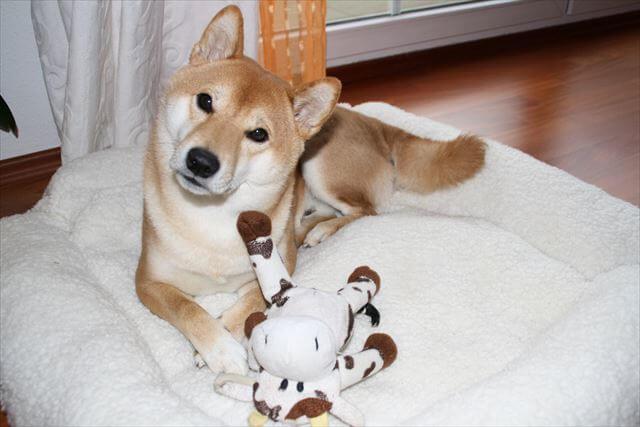 お気に入りのぬいぐるみと柴犬
