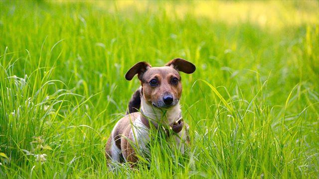 向こうの草陰からこっちを見るジャック