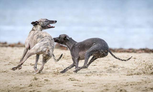 二匹の走る犬