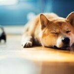 フロアがとっても気持ちいい柴犬