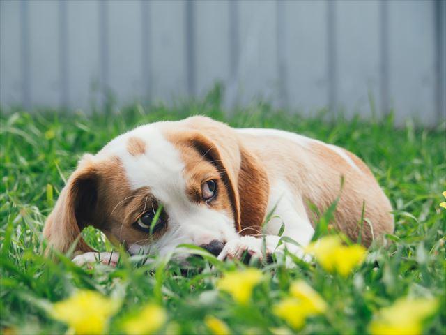 庭で眠たい犬