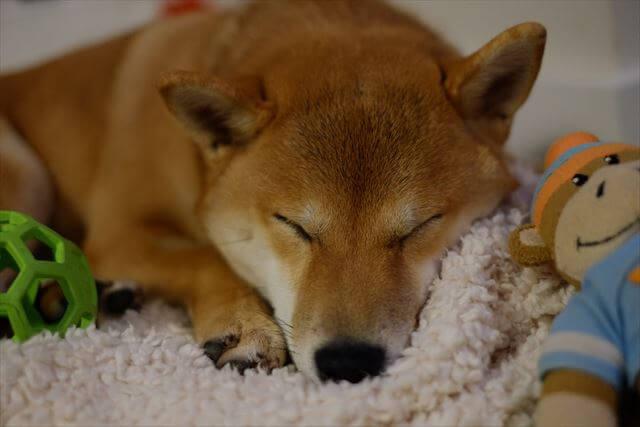夢の中で幸せな柴犬